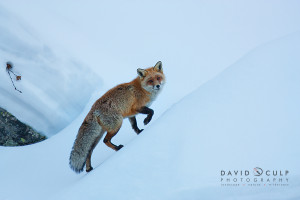 A red fox climbs a snowy hill while foraging for a meal. Gran Paradiso, Italy.