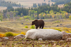 YellowstoneGrizzly