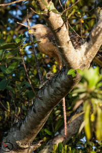A Red Shouldered Hawk enjoys a large snake, the spoils of his early morning hunt.