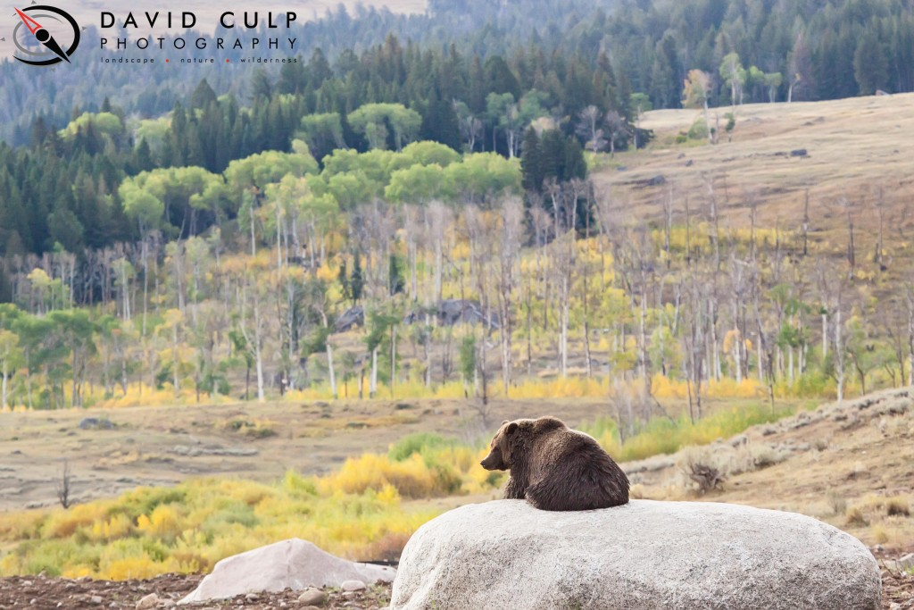 A lone grizzly bear takes in the beautiful fall views of his kingdom from a nice warm rock. Yellowstone National Park